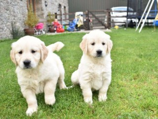 Trained Golden Retriever Puppies Available