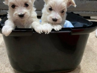 Maltese puppies for rehoming
