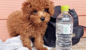 Golden-doodle puppy for adoption