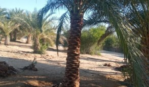 Date palm tree for sale 0561513145