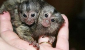 Cute Finger Marmoset Monkeys for sale
